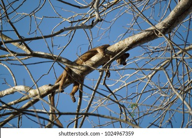 A female fossa/fosa (Cryptoprocta ferox), an endemic carnivore of Madagascar, resting on a tree branch during the mating season. A member of the Eupleridae, a family closely related to the mongoose.