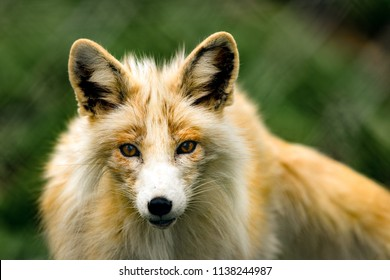 Female fox portrait.