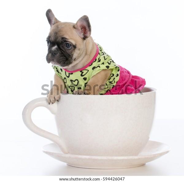 Female French Bulldog Puppy Sitting Inside Stock Photo (Edit Now