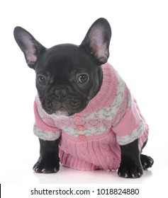 c09a2e0d female french bulldog puppy wearing a pink sweater isolated on white  background