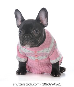 female french bulldog puppy wearing a pink sweater isolated on white background
