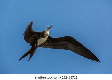 Female frigate bird in flight