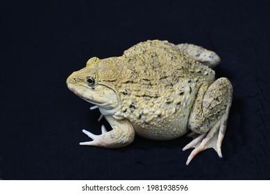 Der weibliche Frosch ist bereit zum Laichen.