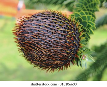 The Female Fruit of the Monkey Puzzle Tree (Araucaria araucana) in a Garden in Devon, England, UK