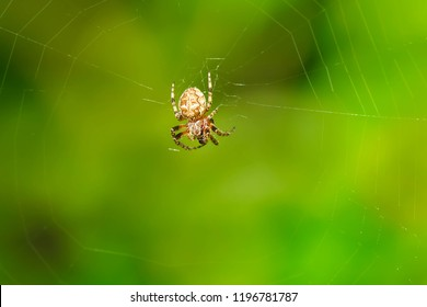 Female Furrow Orbweaver Spider sitting in her web patiently waiting for lunch. Also known as a Foliate Spider. Presqu'ile Provincial Park, Brighton, Ontario, Canada.