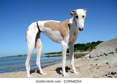 Female galgo espanol dog stands at a beach on a bright sumer day.
