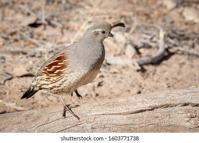 Female Gambel's Quail standing on a log. New Mexico, USA.