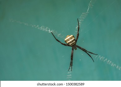 A female garden cross spider (argiope pulchella) with a striped abdomen rests at the centre of its web between four stabilimentum.