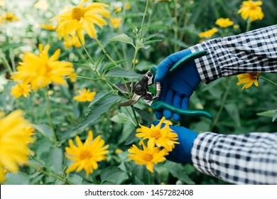 female gardener cuts off shears sick and twisted stems of the flowers in the garden. hands in rubber gloves close-up. concept: flower garden care. street style clothing: plaid shirt