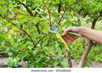 Female gardener look after the garden. Spring pruning of fruit tree. Woman with pruner shears the tips of apricot tree