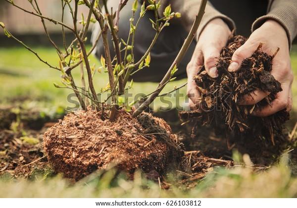 female gardener planting a blueberry bush, bark mulch in the hand