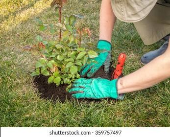 Female gardener planting rose shrub in the dug hole in her backyard garden