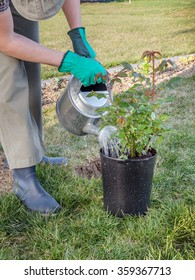 Female gardener watering potted rose shrub before planting it in in her backyard garden