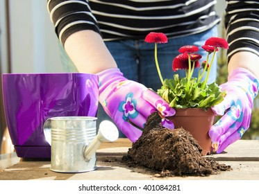 Female gardeners hands planting flowers in pot with dirt or soil