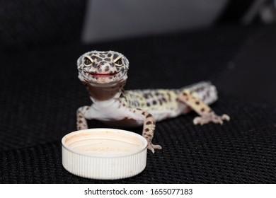 female-gecko-eublefara-leopard-color-260