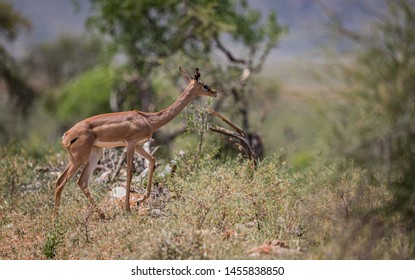 Female gerenuk, much smaller than the male, stays near her mate