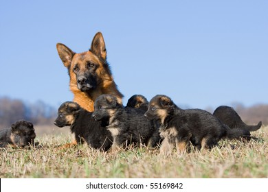 Female German Shepherd dog with many puppies