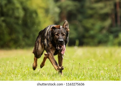 female German Shepherd Dog is runnig clos up