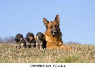 Female German Shepherd dog with three puppies