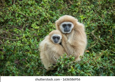 A female Gibbon, Meo, with her young son, Gary (Hylobates lar)