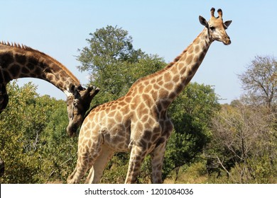 Female Giraffe being gently nudged from male, Kruger Park