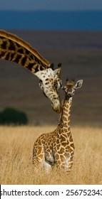 Female giraffe and her calf. Kenya. Masai Mara. funny picture
