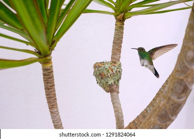 Female Glittering-Bellied Emerald hummingbird, Chlorostilbon Lucidus, flying back to her nest, Brazil, South America