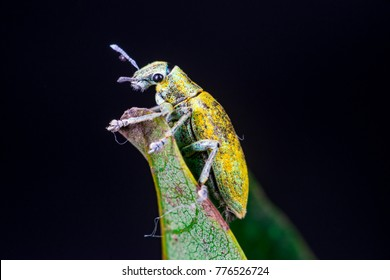 Female Gold Dust Weevil (Arthropoda: Insecta: Coleoptera: Curculionidae: Entiminae: Tanymecini: Piazomiina: Hypomeces squamosus) stand and waiting on a green leaf isolated with dark black background