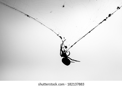 Female Golden Orb-Weaver Spider (Nephila edulis) clinging to web with captured flies in front of grey storm clouds