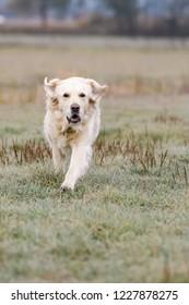 Female golden retriever runnning in a field