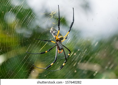 A female Golden SIlk Orb Weaving Spider waiting on her web