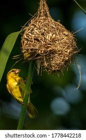 A female golden-backed weaver monitoring her nest in Kranji Marshes, Singapore