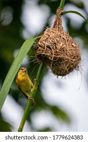 A female golden-backed weaver perches below her nest in Kranji Marshes, Singapore