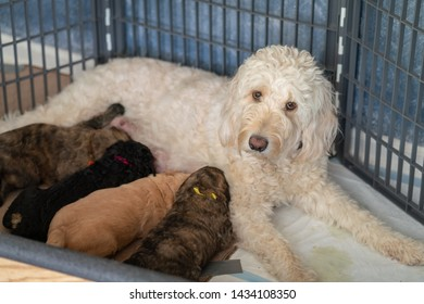 Female Goldendoodle lays in her crate nursing her 4 newborn puppies while looking into the camera.