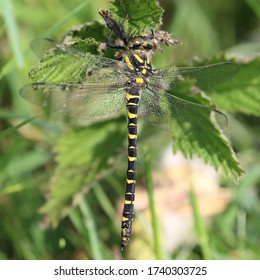 A female Golden-ringed Dragonfly (Cordulegaster boltonii) hanging from a nettle at Whipsiderry, (Newquay, Cornwall, England, UK).