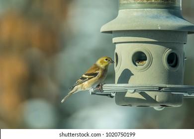 Female goldfinch at a bird feeder