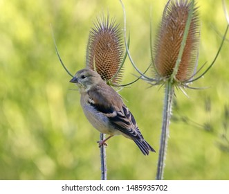 A female goldfinch perched on a teasel.