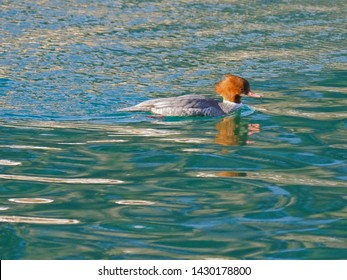 Female Goosander duck with reddish-brown head, white chin, red bill swimming in green lake in Austria, Europe (Mergus merganser)