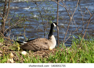 A female goose hatching her goslings.  Mama goose with goslings.