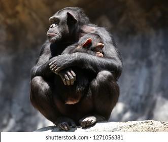 Female Gorilla holding baby gorilla sitting on rocks