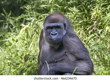 Female Gorilla looking at the camera