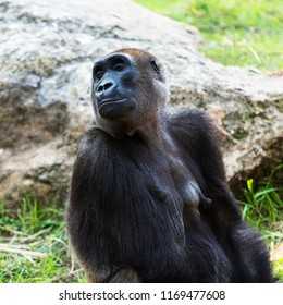 Female gorilla on the background of stones and grass