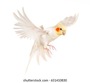 female gray cockatiel in front of white background