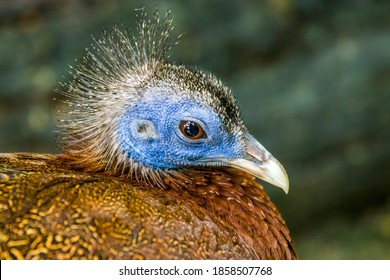 A female great argus (Argusianus argus), which is a species of pheasant from Southeast Asia. 				A brown-plumaged pheasant with a blue head and neck, rufous red upper breast, black hair-like feathers.