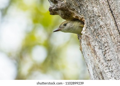 Female Great Crested Flycatcher poking her head out of her nest cavity. High Park, Toronto, Ontario, Canada.