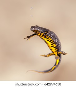Female great crested newt (Triturus cristatus)