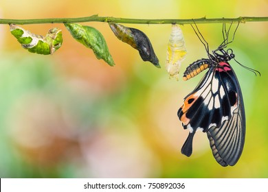 Female Great Mormon (Papilio memnon) butterfly life cycle from caterpillar to pupa and its adult form, isolated on white background with clipping path