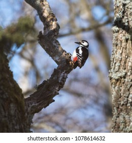 Female Great Spotted Woodpecker, Dendrocopos  Major, sitting in a tree looking for feed