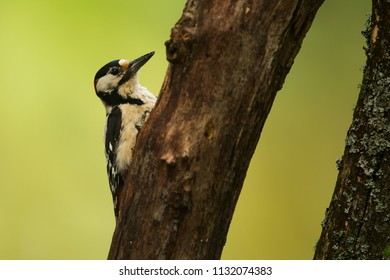 female  Great spotted woodpecker Dendrocopos major on old trunk