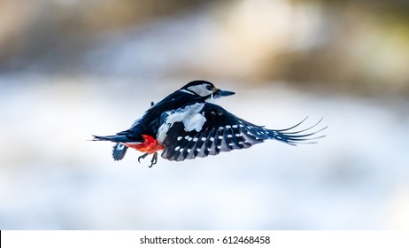 The female Great Spotted Woodpecker (Dendrocopos major) flying with a nice defocused background
